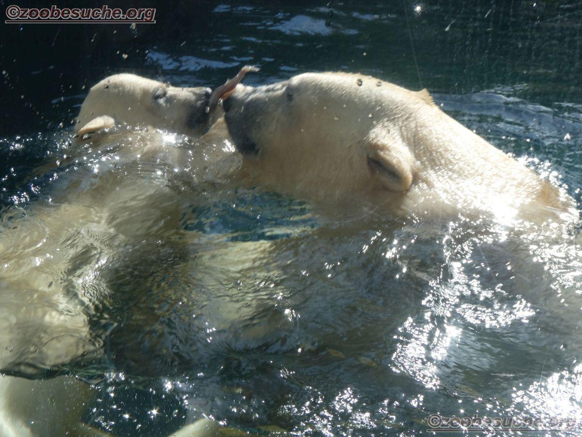 Eisbär  (26)