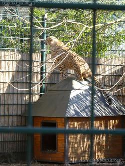 Gepard (5)