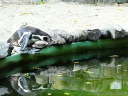 Humbolt Pinguine  (1)