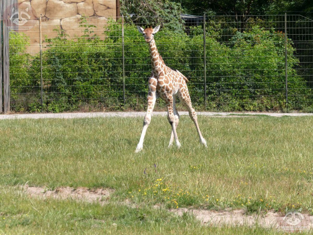 Giraffe Henry  (5)
