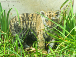 Tiger Jungtiere  (55)