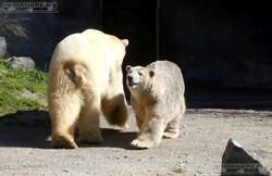 Eisbären_Milana_und_Sprinter_(1)