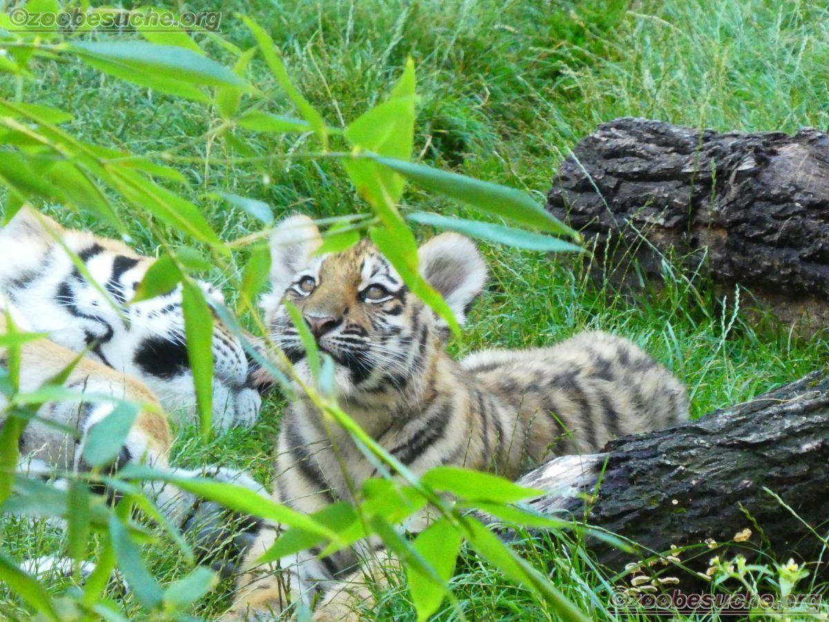 Tigerin Alexa mit jungtier  (8)
