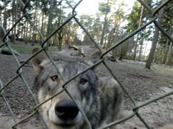 Wolf  (13)