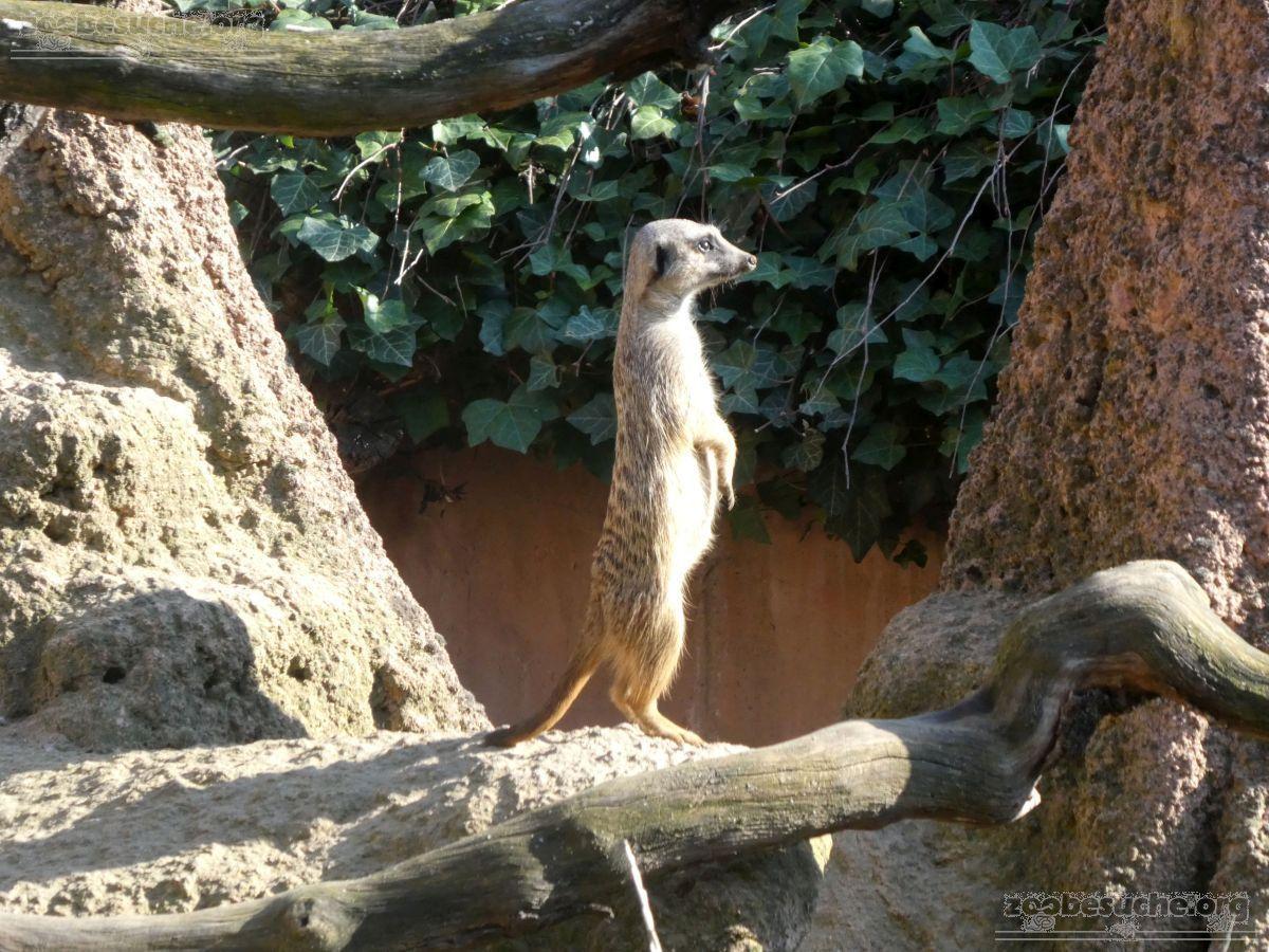 Erdmännchen  (4)