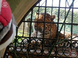 Leopard Julius mit Wuschel
