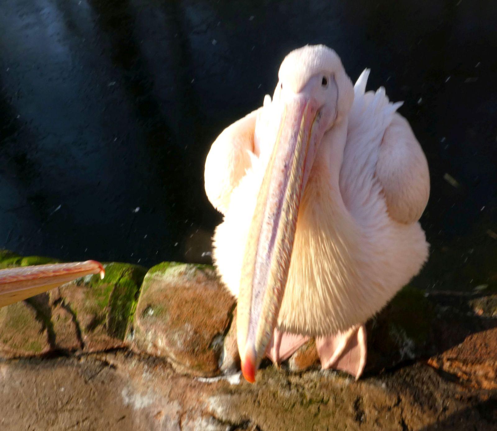 Pelikan  (7)