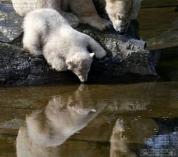 Eisbär  (103)