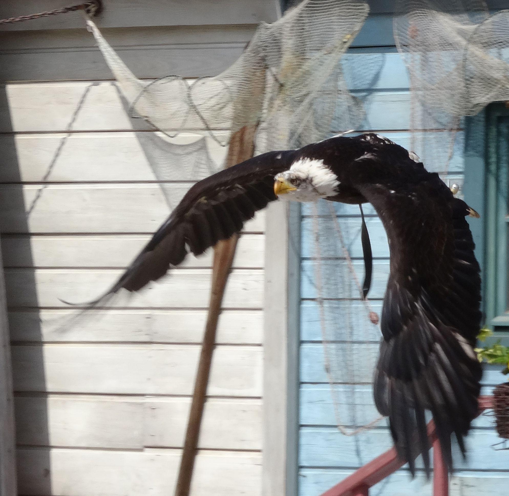 Weißkopfseeadler  (7)