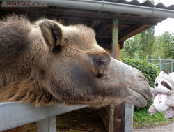 Kamel  (5)