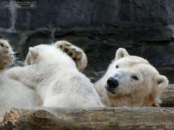 Eisbär  (67)