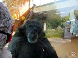 Schimpanse mit Wuschel  (1)