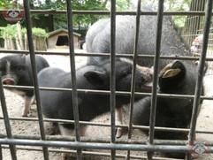 Hängebauchschwein (7).jpg