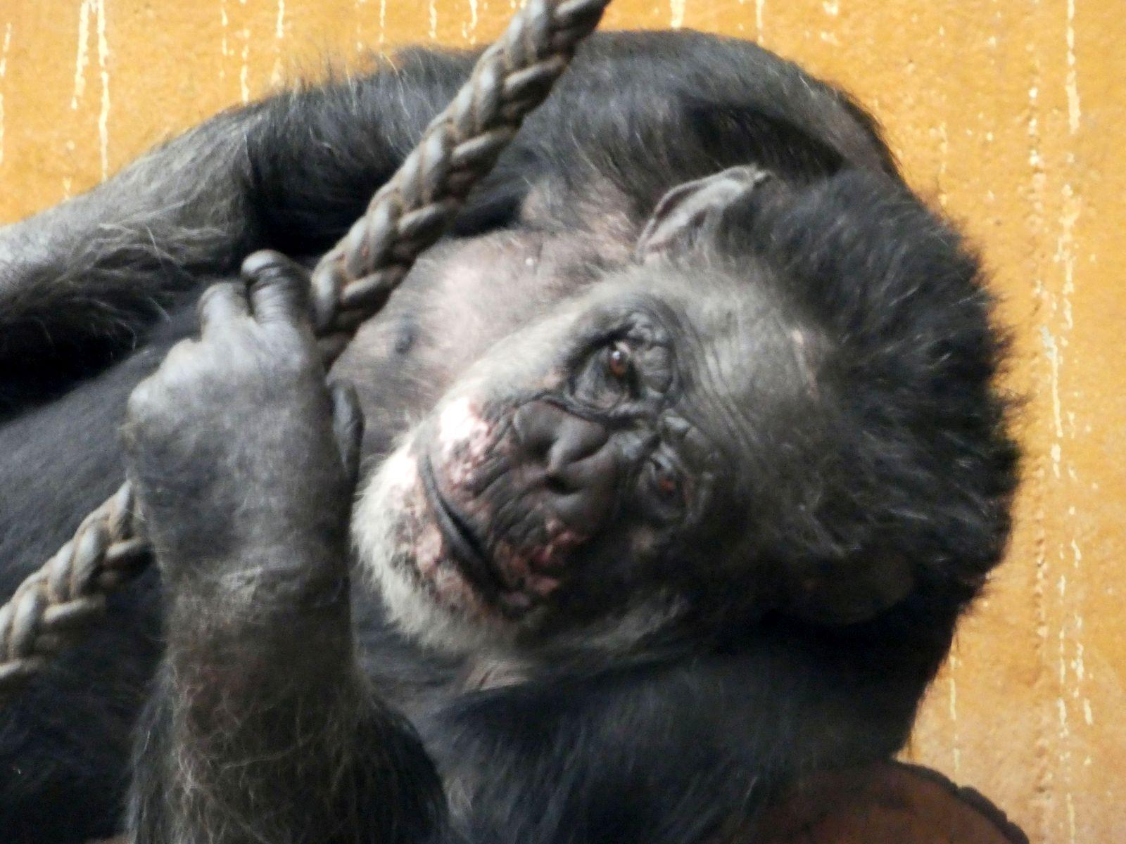 Schimpanse  (6)