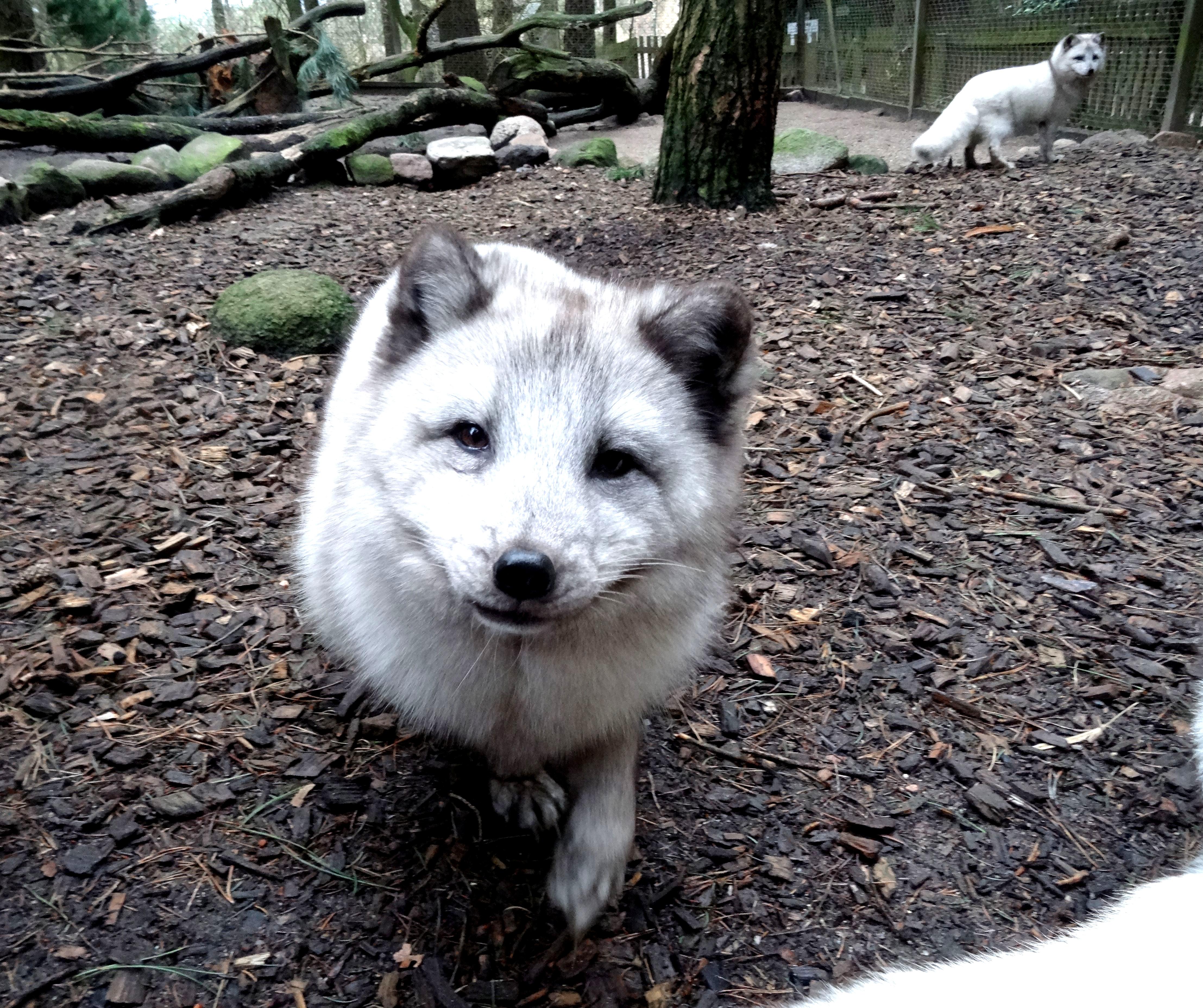 Polarfuchs  (2)