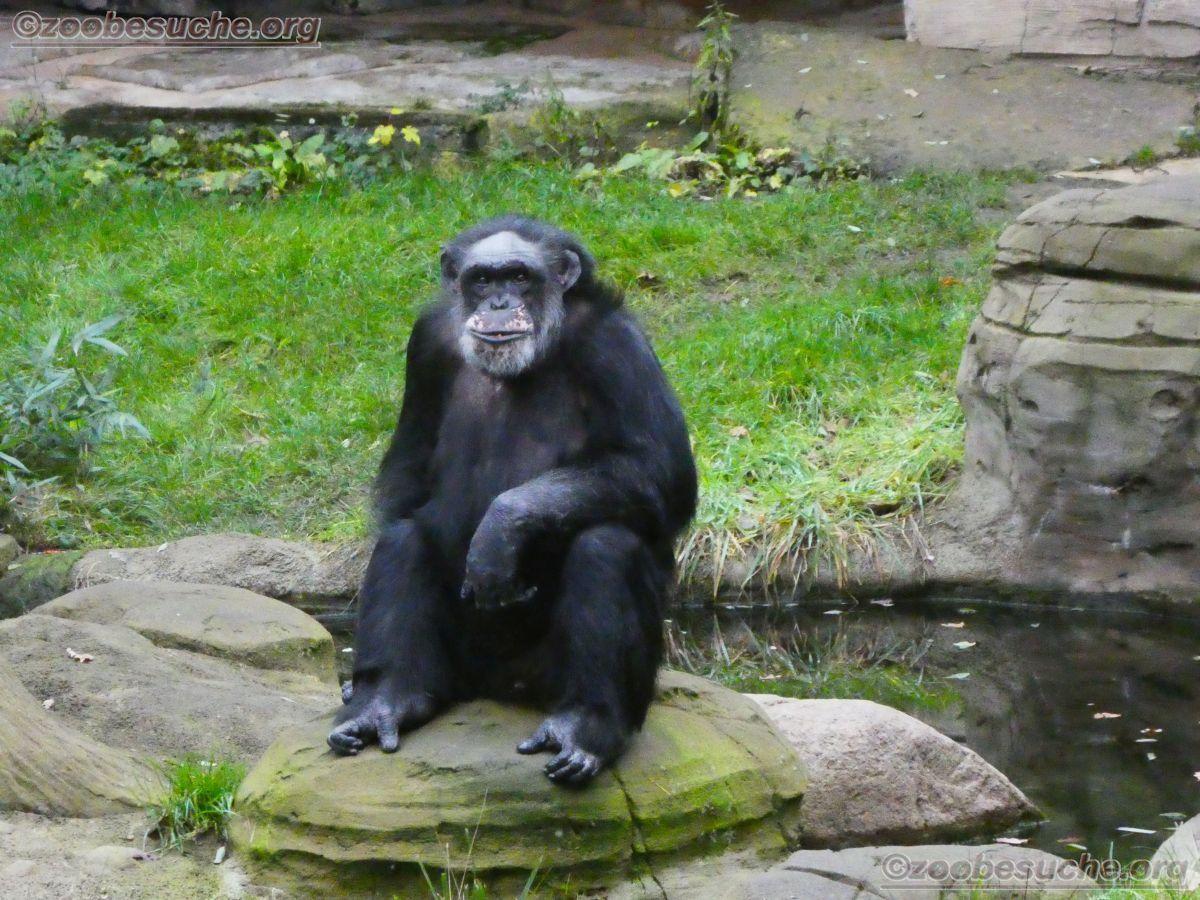 Schimpansen  (16)