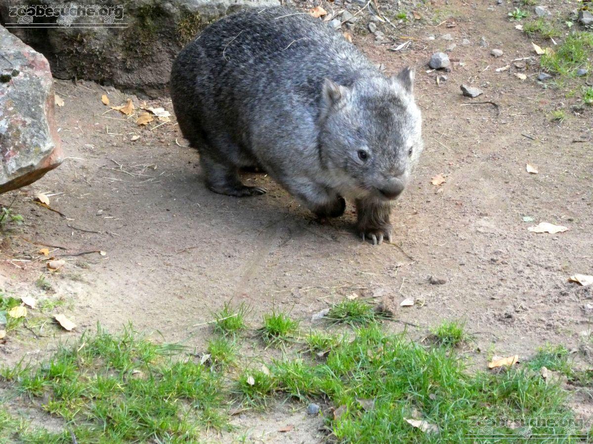 Nacktnasenwombat  (9)