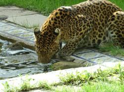 Leopard  (18)