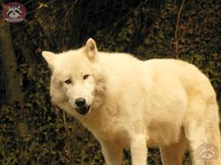 Polarwolf (4)