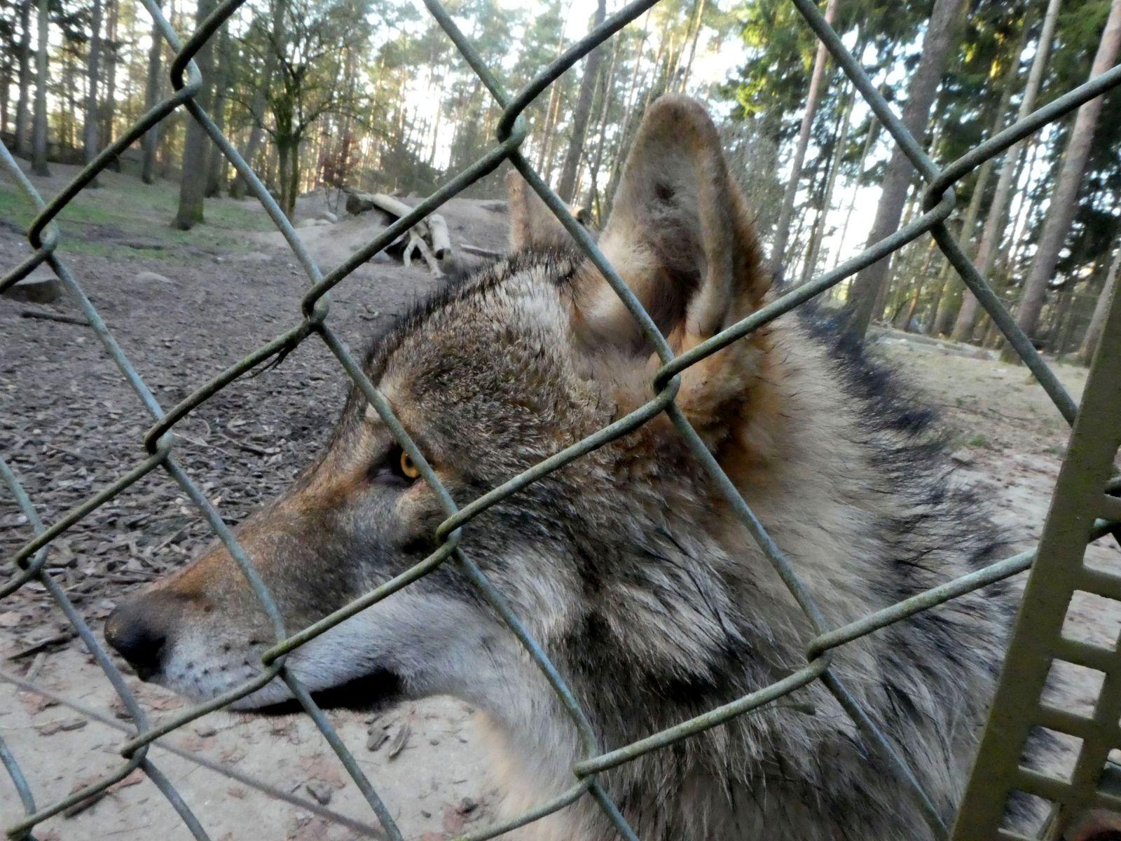 Wolf  (8)