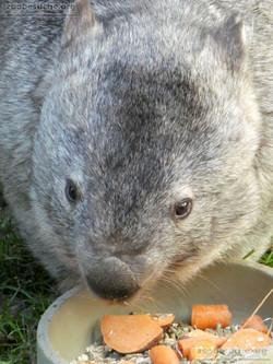 Nacktnasenwombat  (13)