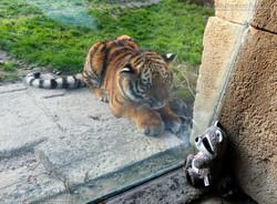 Wuschel mit Tiger Jungtier  (5)