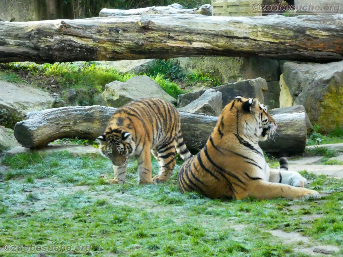 Tigerin Alexa mit Jungtier (6)