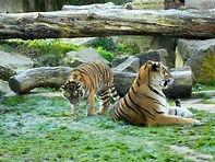 Tigerin Alexa mit Jungtier (6).jpg