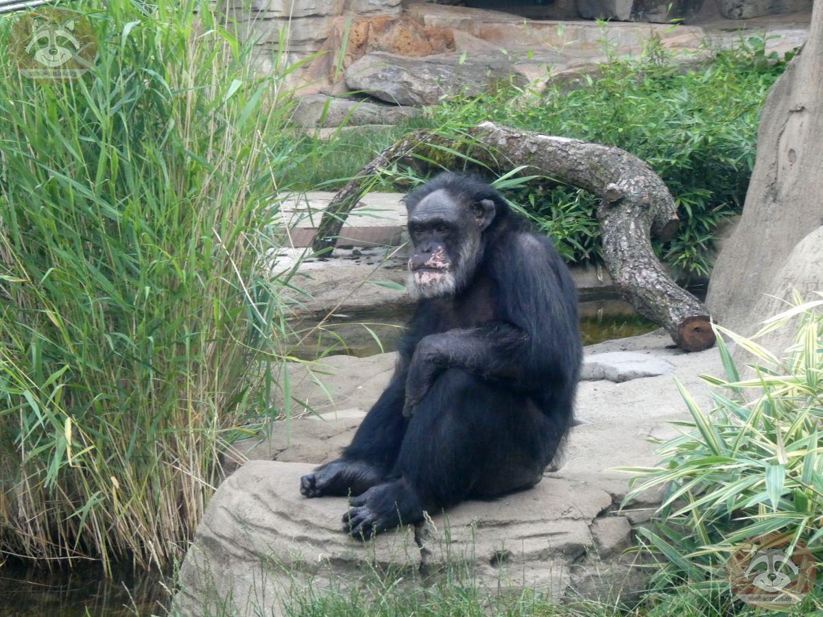 Schimpanse Maxi  (1)