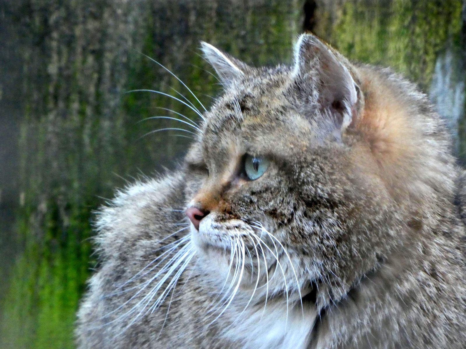 Wildkatze  (1)