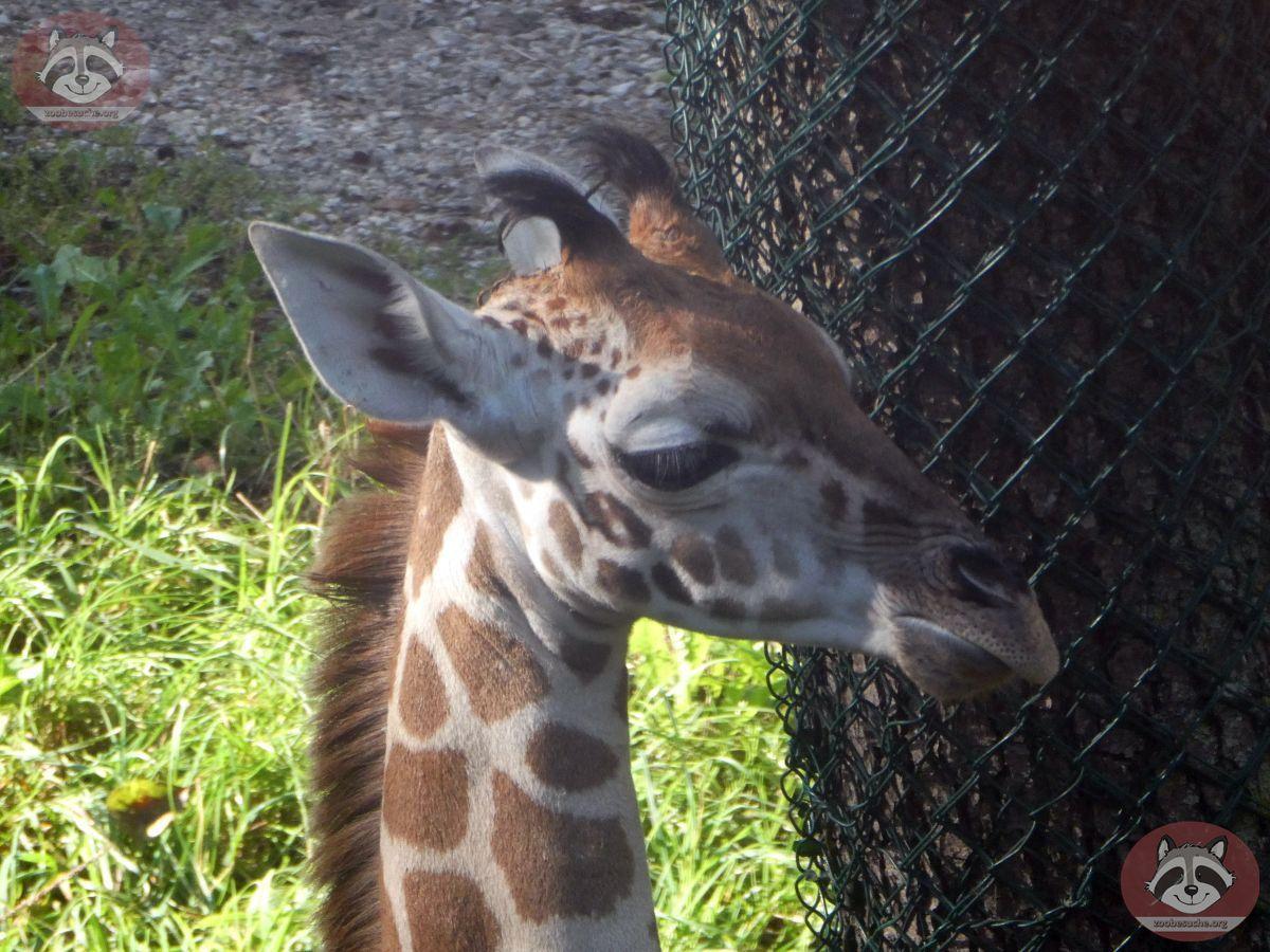 Giraffen (4)