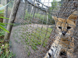 Serval (3)