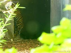Tiger  (22)