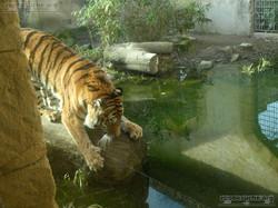 Tiger Aljoscha  (13)