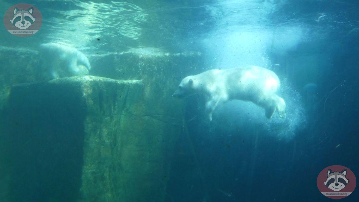 Eisbären  (14)