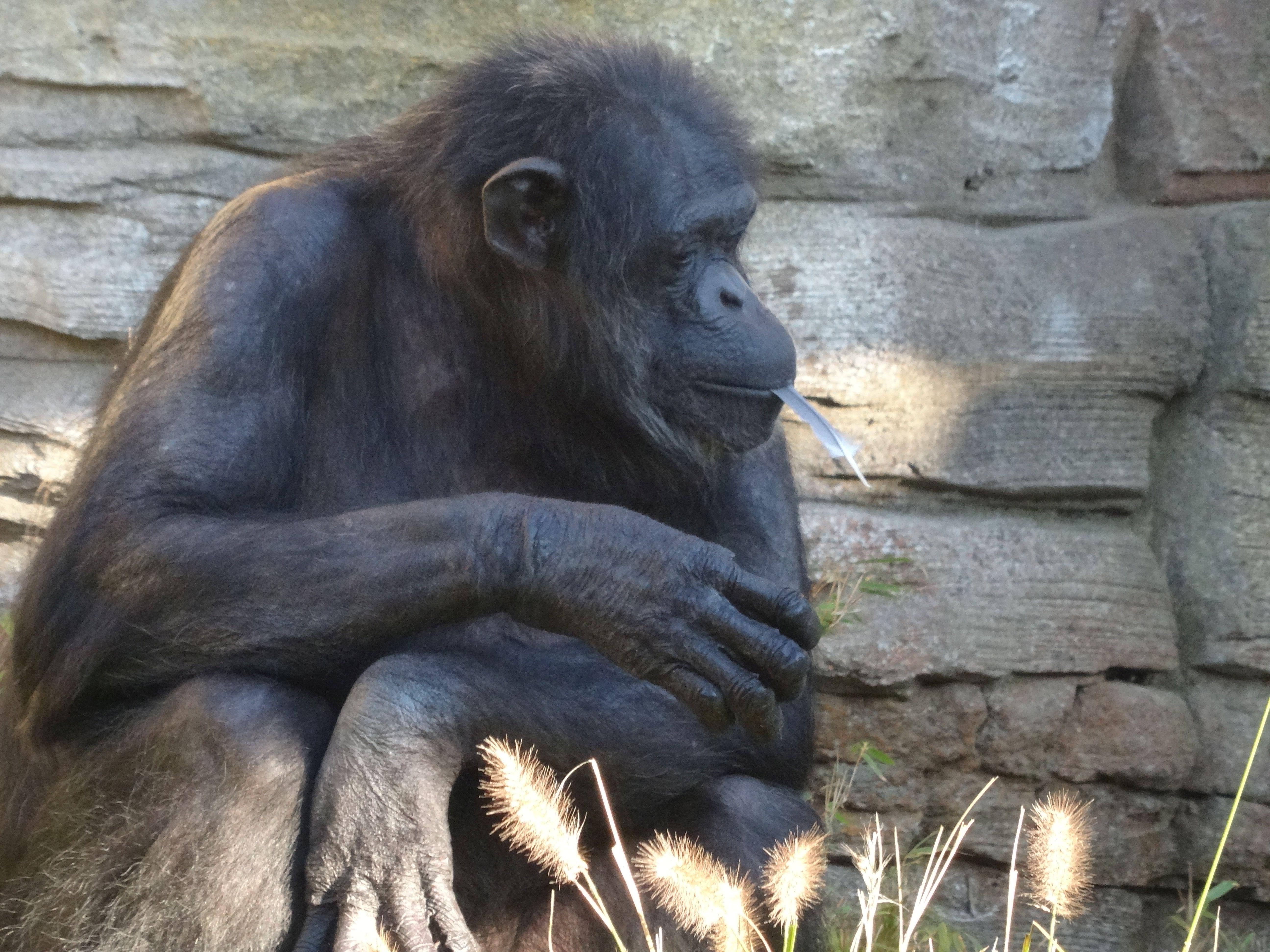 Schimpanse 02