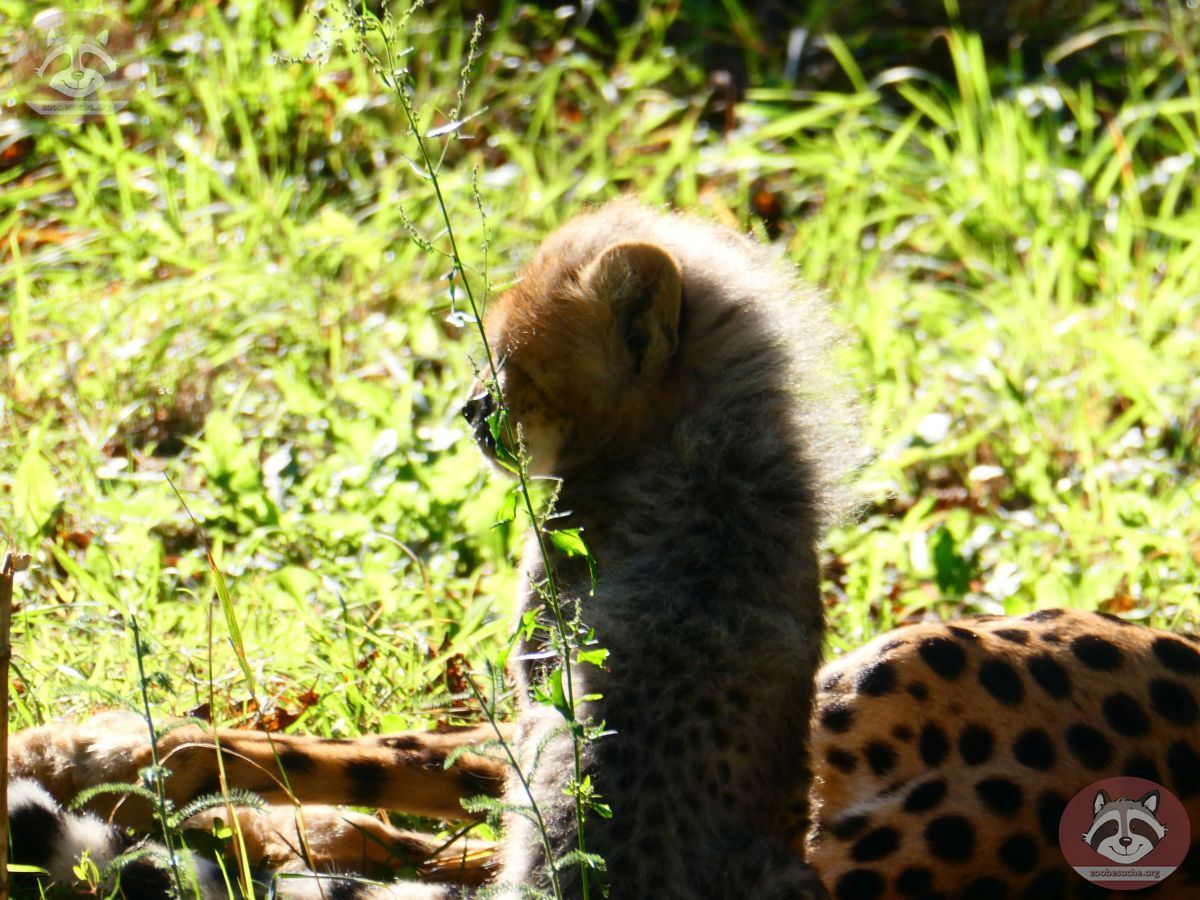 Gepard (2)