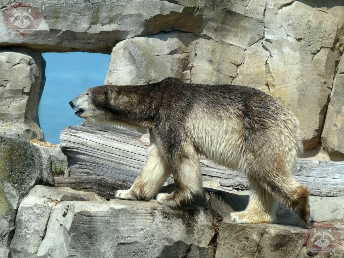 Eisbär Loyd (6)