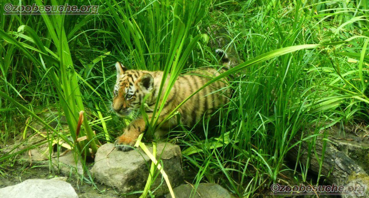 Tiger Jungtiere  (45)