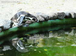 Humbolt Pinguine  (3)
