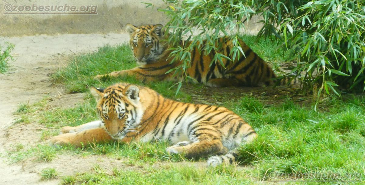Tigerjungtiere  (30)