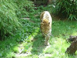 Leopard  (17)