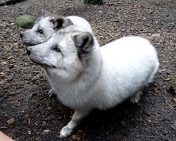 Polarfuchs  (22)