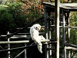 Weißhandgibbon  (1)