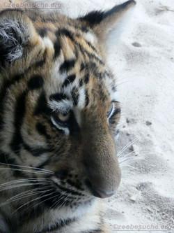 Tiger Jungtier Jaro  (14)