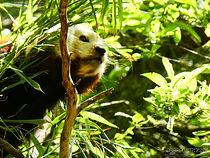 Roter Panda  (1).jpg