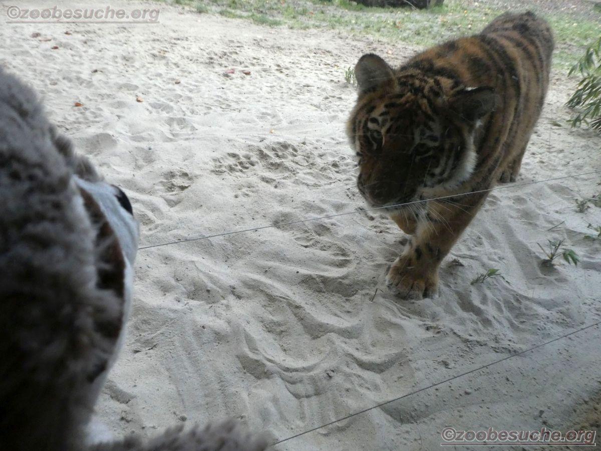 Tiger Jungtier mit Wuschel  (6)