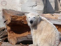 Eisbären (6)