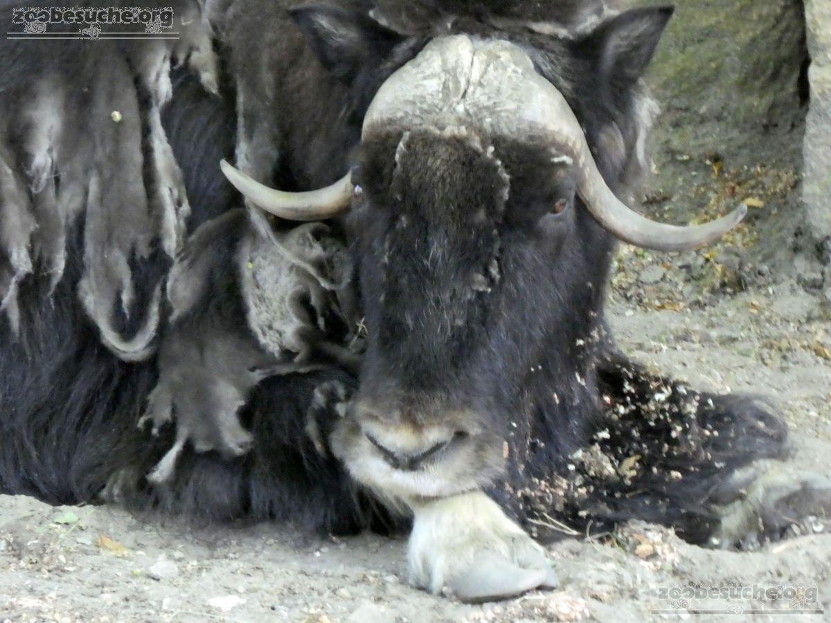 Alaska-Moschussochse  (12)