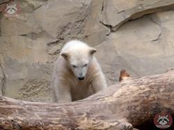 Eisbären  (19)